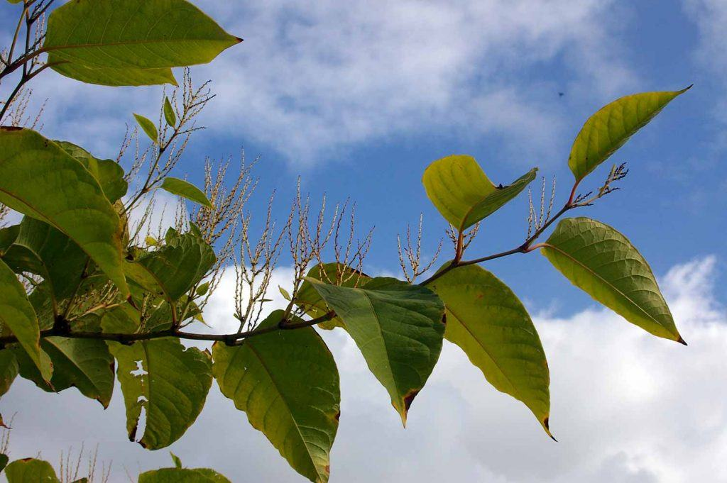 Is Japanese Knotweed really a problem for home owners? - image of japanese knotweed