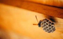 What can landlords do about anti-social wasps? | Small wasp protecting honeycomb