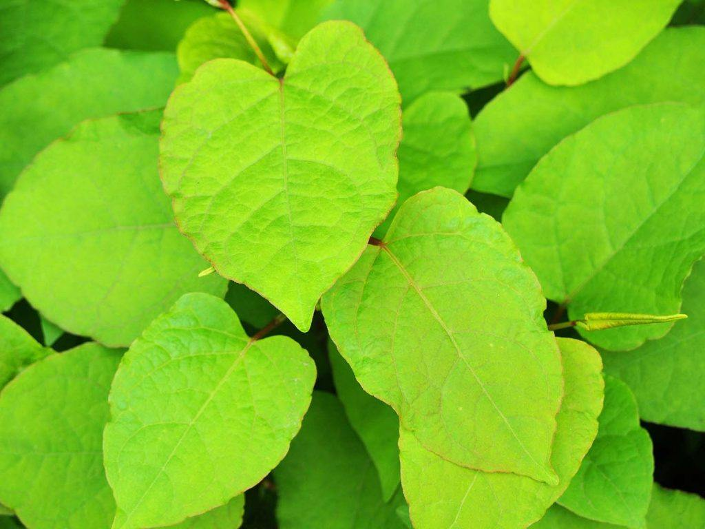 Japanese knotweed – what do landlord's need to know?