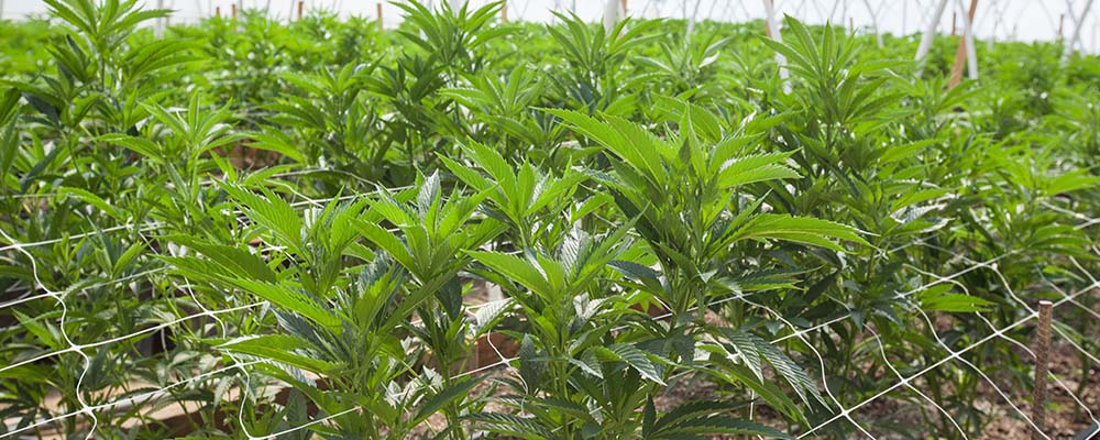 The growing threat of cannabis cultivation for landlords